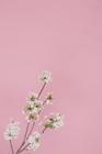 桜イメージ ピンク