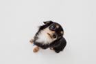 ミックス犬 黒色のチワックス俯瞰