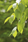 ケヤキの枝葉