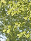 ブナの枝葉
