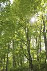 ブナ林と木漏れ日