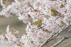 メジロと桜の花