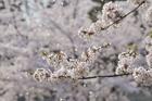 桜の花 ソメイヨシノの桜吹雪