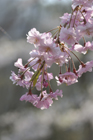 桜の花 シダレサクラ