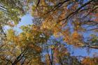 見上げる紅葉のブナ林