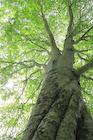 新緑のブナの大木