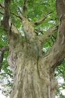 新緑のケヤキの大木