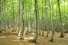 新緑のブナ 美人林