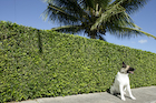 生垣の前の犬