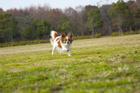 公園を走るパピヨン